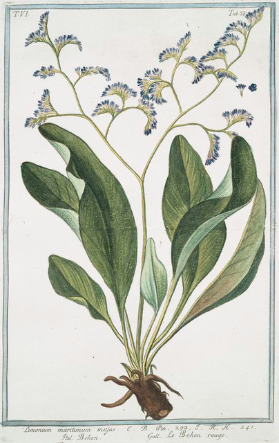 Limonium maritimum majus = Behen = Le Behen rouge. [Sea lavender]