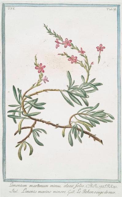 Limonium maritimum minus, oleae folio = Limonio marino minore = Le Behen rouge de mer. [Sea lavender]