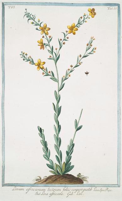 Linum africanum, luteum, foliis conyungalik  = Lino africano = Lin. [African Flax]