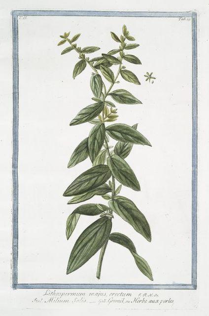 Lithospermum majus, erectum = Milium Solis = Gremil, ou Herbe aux perles. [Puccoon]