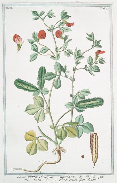 Lotus rubra, siliqua angulosa = Loto, con il fiore rosso = Lotier. [Indian red water lily]