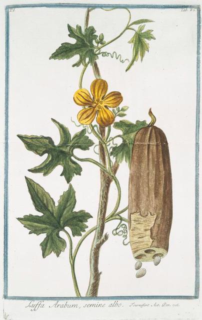 Luffa Arabum, semine albo. [Sponge gourd]