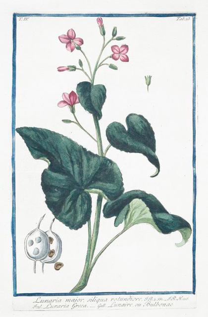 Lunario major, siliqua rotundiore = Lunaria Greca = Lunaire, ou bulbonac