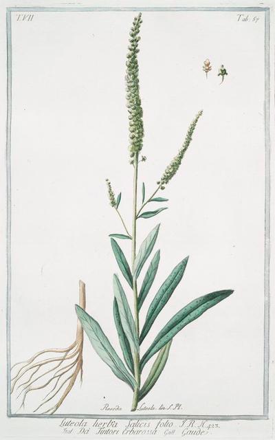 Luteola, herba , salicis folio = Da Tintori Erbarossa = Gaude. [weld; dyer's rocket]