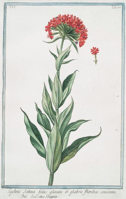 Lychnis sativa, foliis glauets et glabris, floribus coccineis = Scarlattea Sooppia. [Scarlet Lychnis]