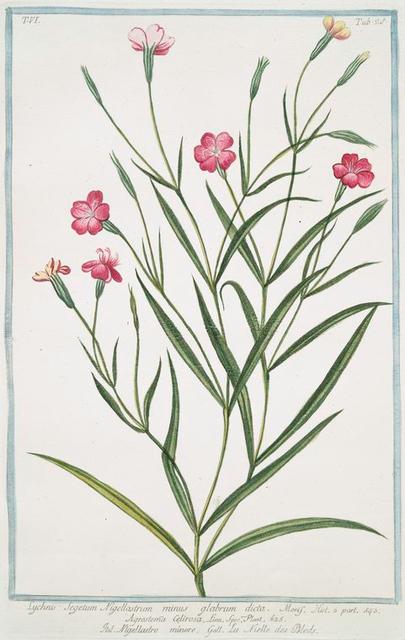 Lychnis Segetum Nigellastrum minus glabrum dicta. = Agrostema Celirosa = Nigellastro minore = La Nielle des Bleds. [Black catchfly]