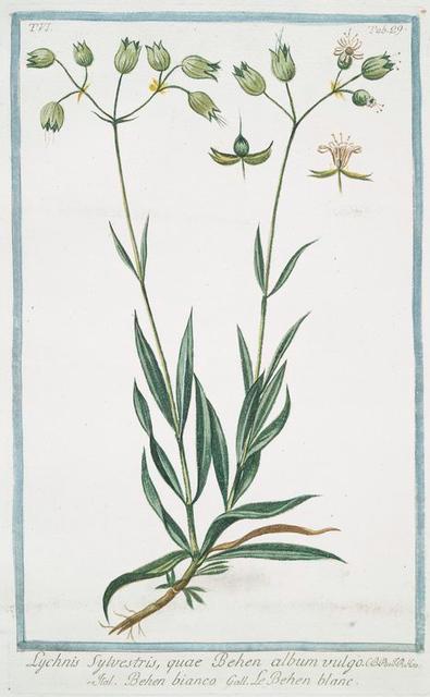 Lychnis sylvestris, quae Behen album vulgo = Behen bianco = Le Behen blanc.