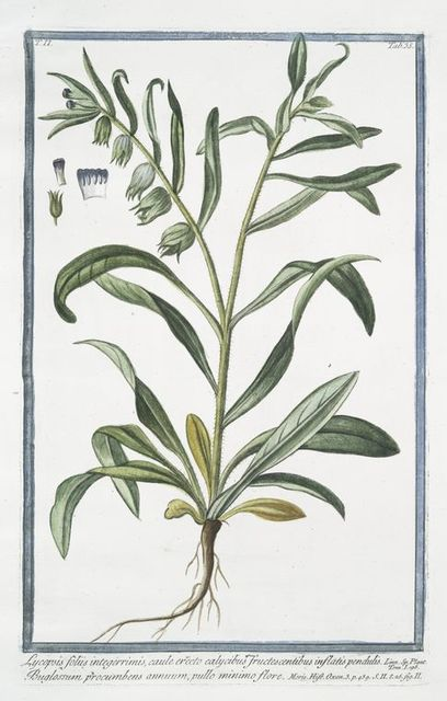 Lycopsis foliis integerrimis, caule erecto calycibus fructescentibus inflatis pendulis = Buglossum procumbens annuum, pullo minimo flore. [Bugloss]