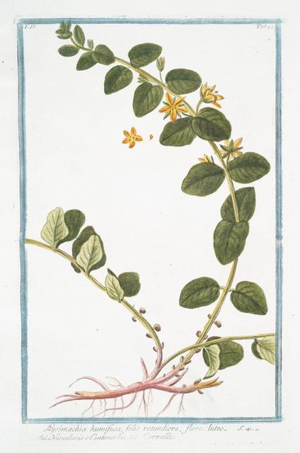 Lysimachia humifusa, folio rotundiore, flore luteo =Corneille. [Loosestrife]