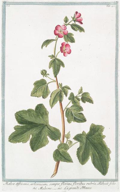Malva Africana, arborescens, semper florens, floribus rubris, Ribesii folio = Malvone = La grande Mauve.