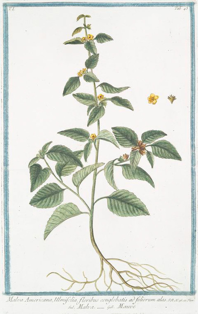 Malva Americana, Ulmifolia, floribus conglobatis ad foliorum alas = Malva = Mauve. [False mallow]