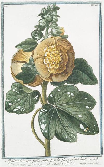 Malva Rosea, folio subrotundo, flore pleno luteo; et subluteo = Mauve Rose.