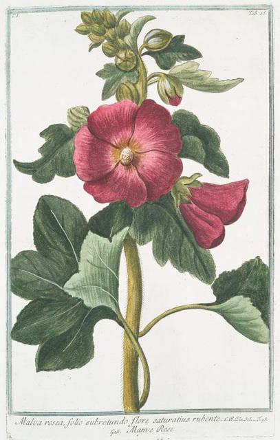 Malva Rosea, folio subrotundo flore saturatius rubente = Mauve Rose.