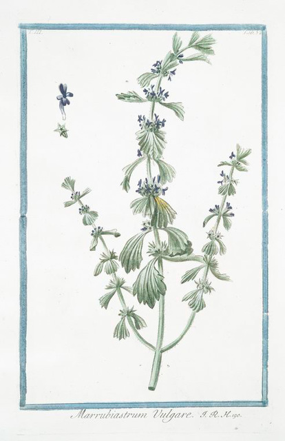 Marrubiastrum vulgare. [enlarged version, of Ironwort]
