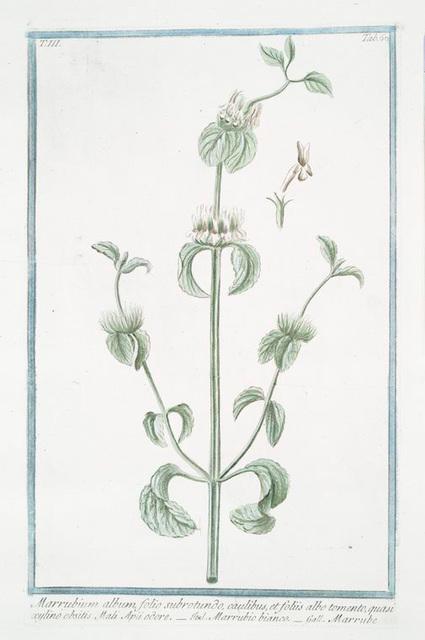 Marrubium album, folio subrotundo, caulibus, et foliis albo tomento, quasi xylino obsitis, Mali Apü odore = Marrubio bianco = Marrube. [White Horehound]