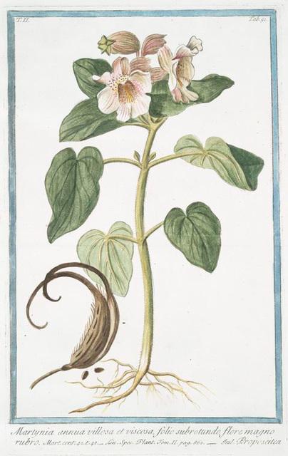 Martynia annua villosa et viscosa, folio subrotundo, flore magno rubro = Proposcitea. [Horn-capsuled Martynia, Common Unicorn Plant, Common Devil's Claw, Ram's Horn, Proboscis Flower, Elephant Tusk]