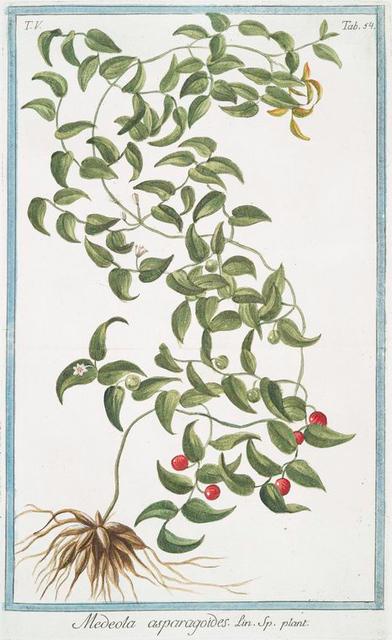 Medeola asparagoides.