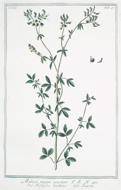 Medica major erectior = Trifoglio torchino = Luserne. [Medicago sativa, Alfalfa]