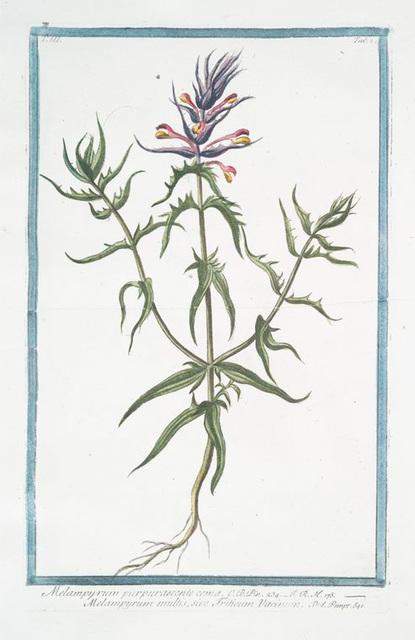 Melampyrum purpurascente coma = Melampyrum multis, sive Triticum Vacinum. [Purple Cow Wheat]