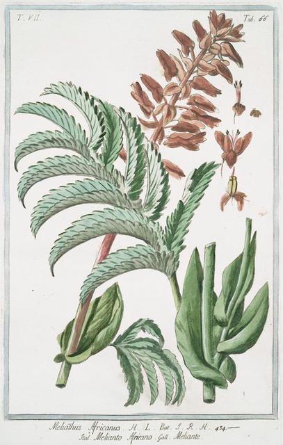 Melianthus Africanus = Melianto Africano = Meliante.