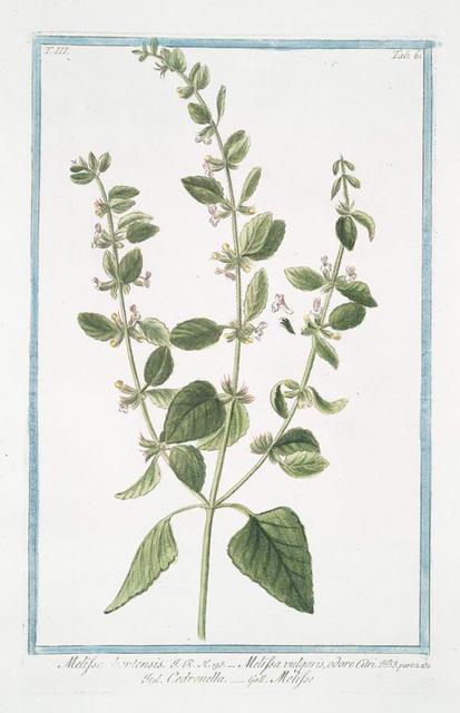Melissa hortensis = Melissa vulgaris, odore Citri = Cedronella = Melisse. [Lemon Balm]