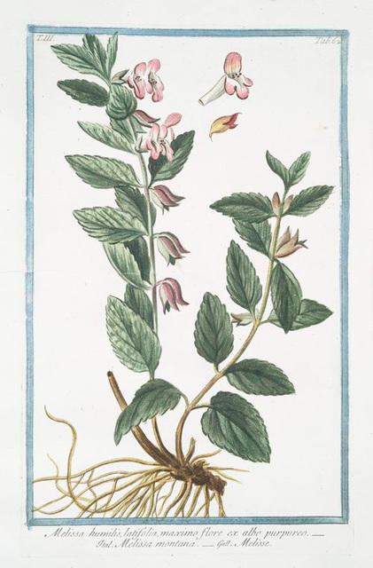 Melissa humilis, latifolia, maximo flore ex albo prupureo = Melissa montana = Melise.