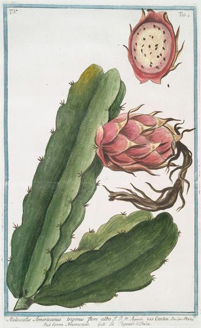Melocactus Americanus trigonus flore albo = Cactus = Cereo Americano - figuier d'Inde.