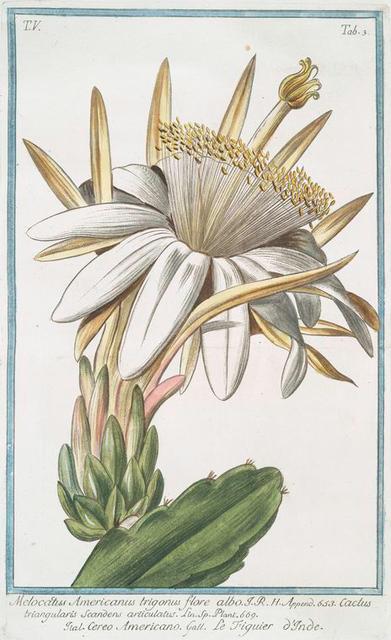 Melocactus Americanus trigonus flore albo = Cereo Americano = Le figuier o'Inde [Cactus melon]