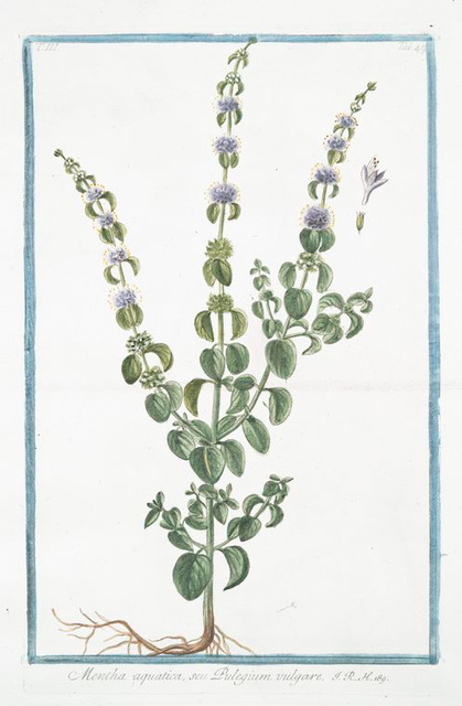 Mentha aquatica, seu Pulegium vulgare. [Wild mint, water mint, marsh mint, Bergamot Mint Eau-de-cologne Mint Lemon Mint Orange Mint Water Capitate Mint]
