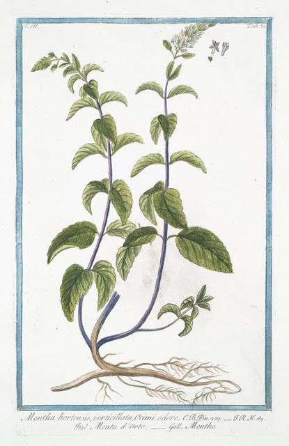 Mentha hortensis, verticillata, Ocimi odore = Menta d'Orto = Menthe. [Garden mint]