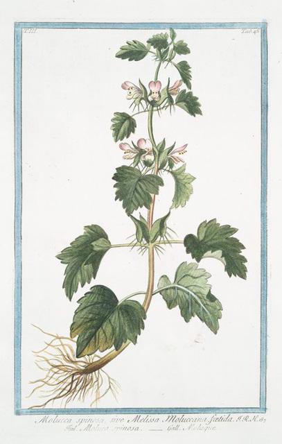 Molucca spinosa, sive Melissa Moluccana, foetida = Moluca spinosa = Moluque. [Spiny Molucca]