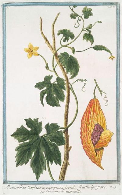 Momordica Zeylanica, pampinea fronde, fructu longiore = Pomme de merveille. [Bitter gourd from Sri Lanka]