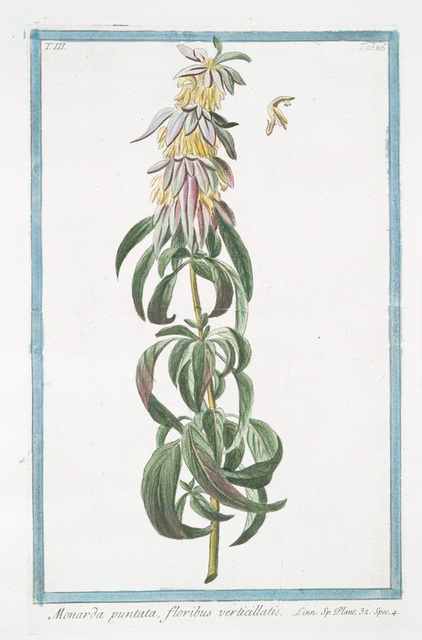 Monarda puntata, floribus verticillatis. [Spotted bee balm, Horse mint]
