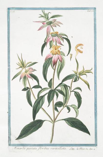 Monarda puntata, floribus verticillatis. [Spotted bee balm, Horse mint with blooming flowers]