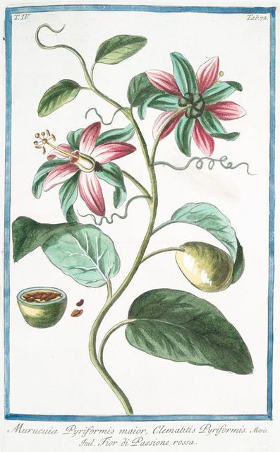 Murucuia Pyriformis maior, Clematitis Pyriformis = Fior di Passione rossa. [Passion flower]