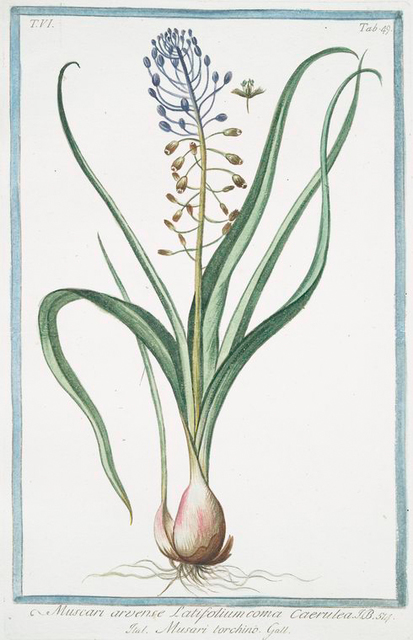 Muscara,  arvense, latifolium coma caerulea = Musari torchino. [Grape hyacinth]