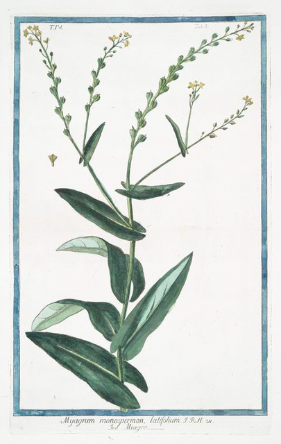 Myagrum monospermon, latifolium = Miagro. [Bird's eye cress?]