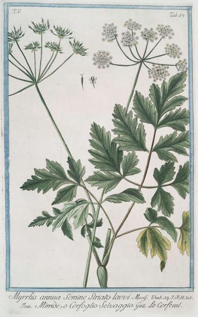 Myrrhis annua Semine striato laevi = Mirride, o Cerfoglio Selvaggio = Le Cerfeuil. [Sweet Chervil]