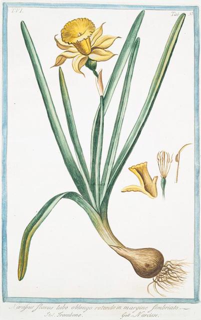 Narcissus, flavus, tubo oblongo , rotundo in margine, fimbriato = Trombone = Narcisse. [Yellow narcisse]