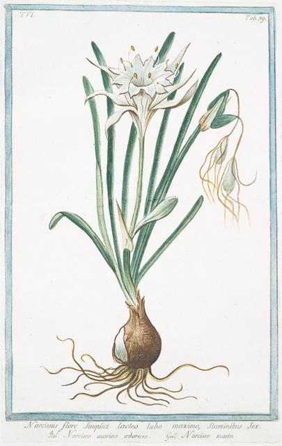Narcissus, flore simplici, lacteo tubo maximo, staminibus sex = Narcisso marino odoroso = Narisse marin.