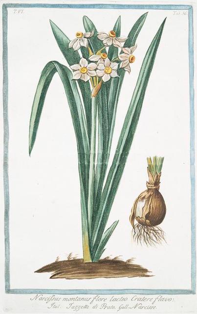 Narcissus montanus, flore lacteo,  cratere flavo = Tazzetta di Prato = Narcisse. [Mountain daffodil]
