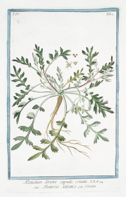 Nasturtium Silvestre, capsulis cristatis = Nasturzio Salvatico = Cresson. [Wild watercress]