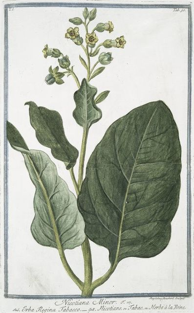 Nicotiana Minor = Erba Regina Tabacco = Nicotiane, ou Tabac, ou Herbe à la Rhine. [Tobacco]
