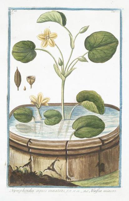 Nymphoides aquis innatans = Ninfea minore. Water lily}