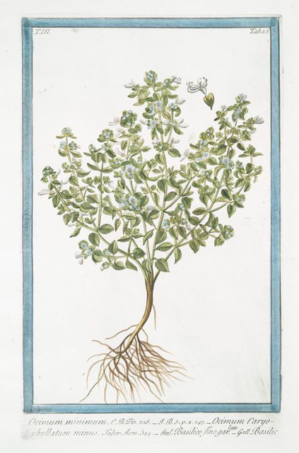 Ocimum miinimum = Ocimum Caryophyllatum minus = Basilico fino garlato = Basilic. [Basil bush]