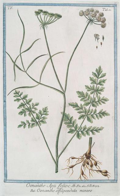 Oenanthe Apii folii = Oenanthe, o filipendula minore. [Water dropwort]