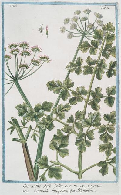 Oenanthe Apii folio = Oenante maggiore = Loenanthe. [Water dropwort]
