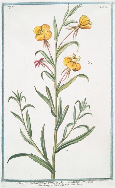 Onagra Bonariensis villosa flore mutabili = Onagra = L'Herbe aux Anex.