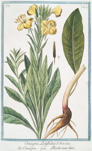 Onagra latifolia = Onagra = L'Herbe aux Anes. [Primerose]