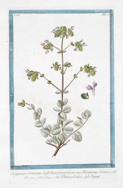 Origanum Creticum, latifolium, tomentosum, seu Dictamnus Creticus = Ditamo Cretico = Origan. [Spanish Hops]